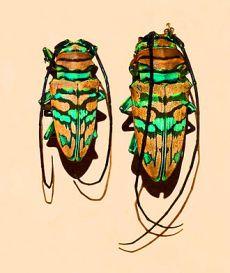 330px-cerambycidae_-_sternotomis_pulchra_var-_obscura