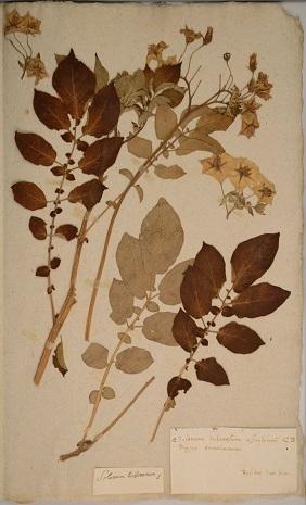 Tuberosum solanum L.